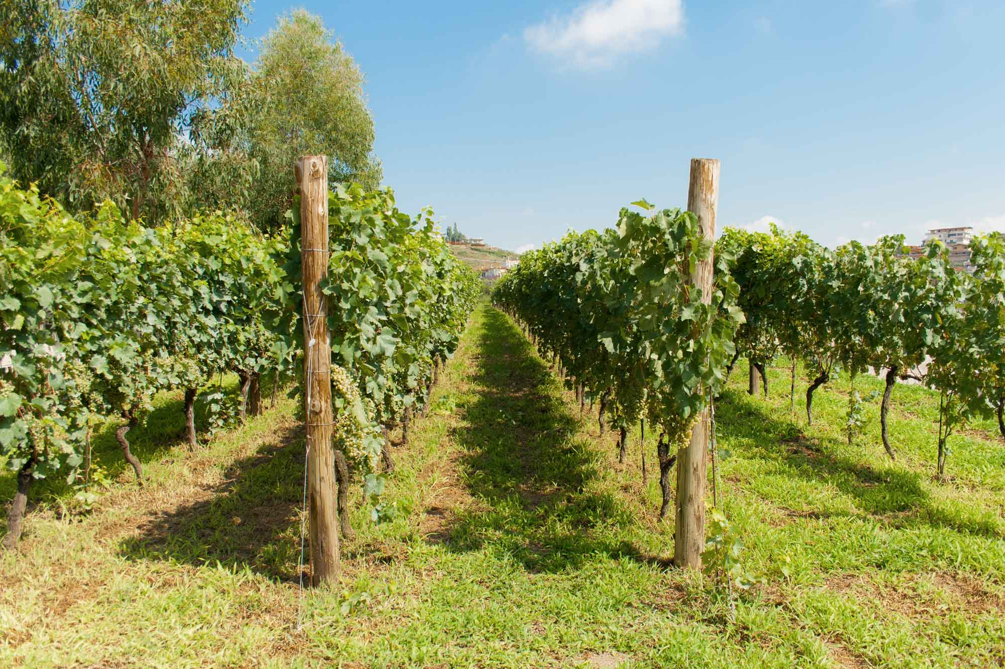 Phlegraean Fields - Vigna Astroni vineyard of Cantine Astroni - Falanghina of Phlegraean Fields