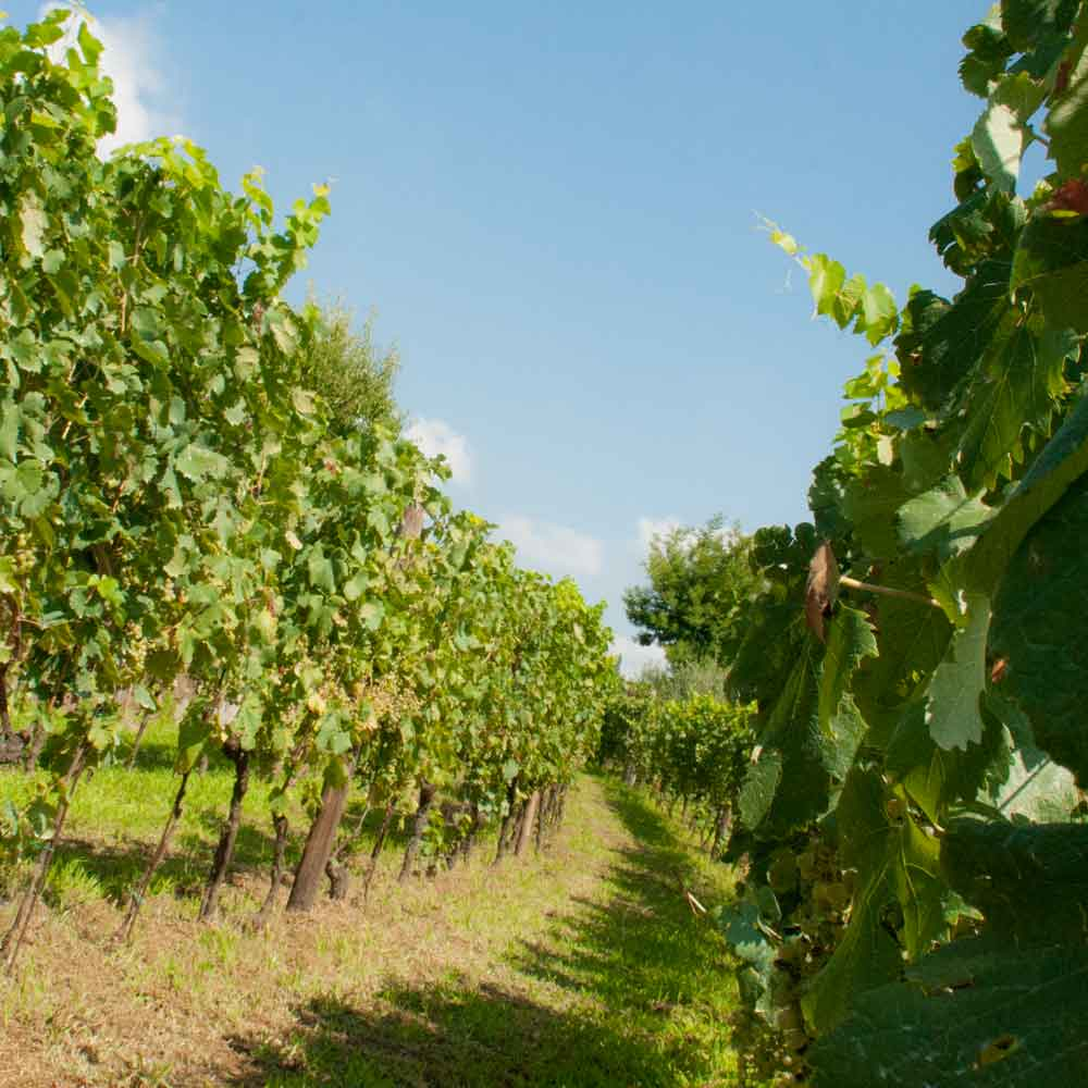 Phlegraean Fields - Vigna Astroni vineyard of Cantine Astroni