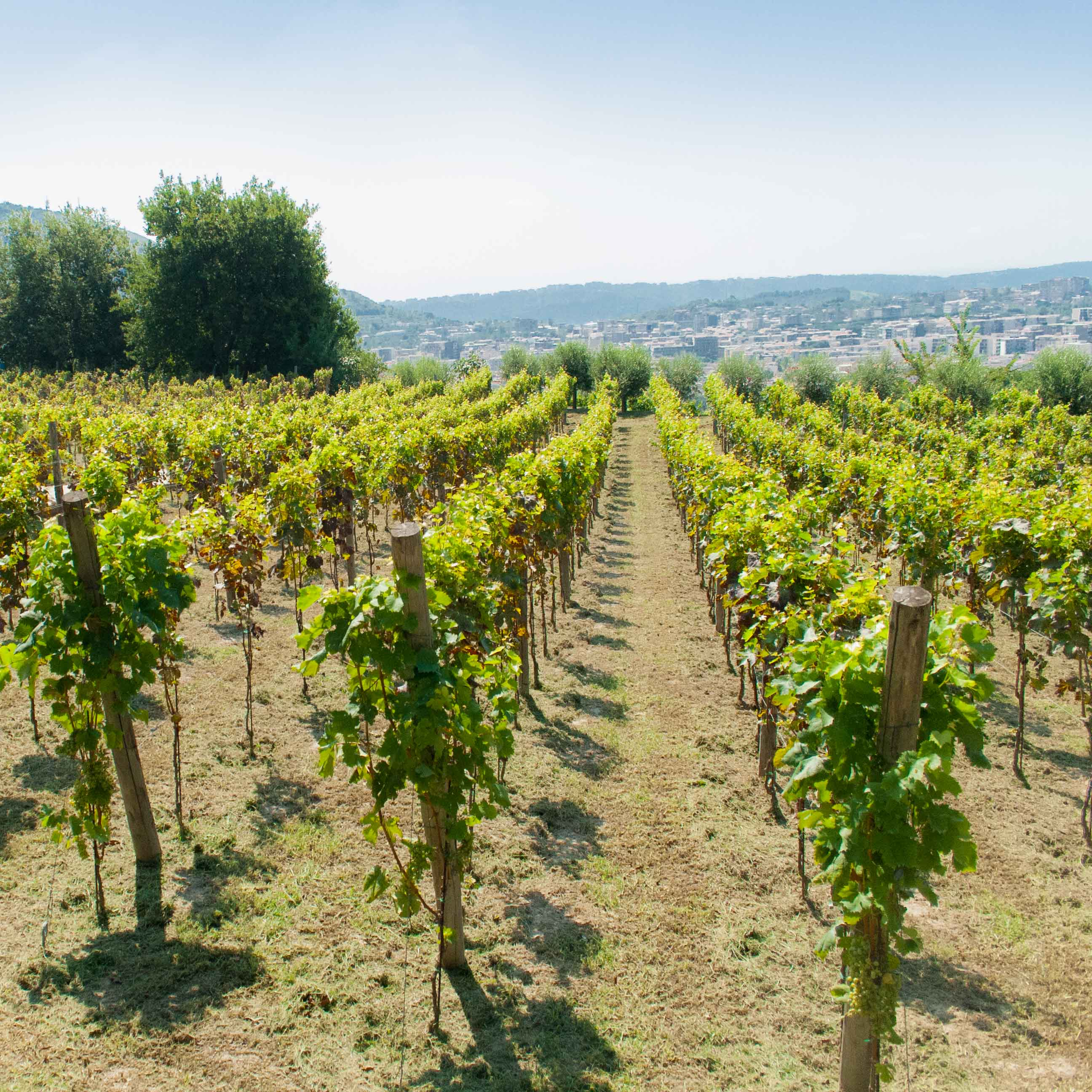 Phlegraean Fields - Vigna Iossa vineyard of Cantine Astroni