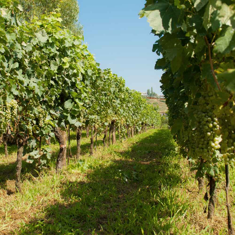 Phlegraean Fields - Vigna Imperatrice vineyard of Cantine Astroni